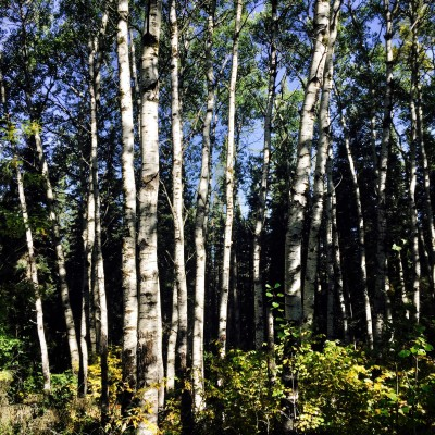 poplar trees at Riding Mountain National Park, Manitoba, Canada